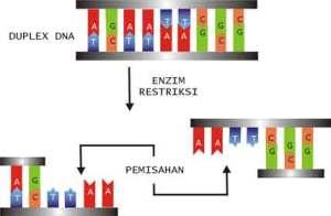 Enzim Restriksi